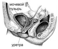 Расположение женских органов малого таза в норме.